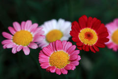Margriets in various colors on a shrub Stock Photography