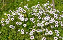 Margrietwildflowers met purpere centra stock afbeeldingen