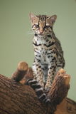Margay Stock Photo