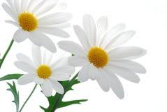 marguerite λευκό άνοιξη στοκ εικόνα με δικαίωμα ελεύθερης χρήσης