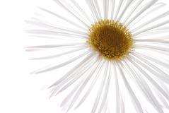 marguerite λευκό στοκ εικόνα