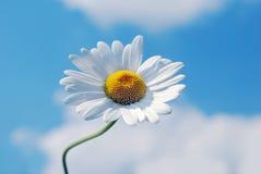 marguerite цветка стоковая фотография