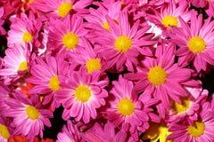 Marguerite photos stock