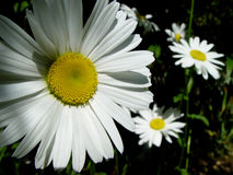 Marguerite. Garden flower Royalty Free Stock Photo
