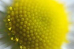 marguerite Стоковые Изображения RF