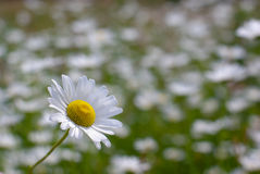 Marguerite. Maguerite in front of a meadow royalty free stock photo