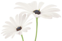 Marguerite Stock Image
