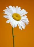 Marguerite Image libre de droits