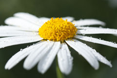 Marguerite Royalty Free Stock Image