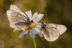 marguerite 2 бабочек цветения Стоковые Изображения RF