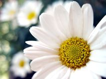 Marguerite 2 Royalty Free Stock Images