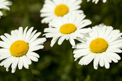 Marguerite Stock Photo