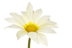 Marguerite Royalty Free Stock Images