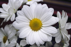 Marguerite. A little marguerite Royalty Free Stock Photography