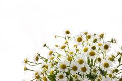 Marguerite. White daisy flowers on white background Stock Images
