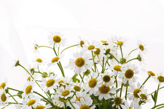 Marguerite. Close-up of White daisy flowers on white background Royalty Free Stock Image