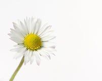 Marguerite Image stock