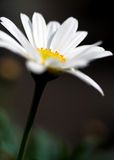 Marguerite. Flower Stock Photo