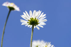 Marguerite Photos stock