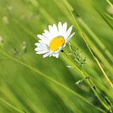 Marguerite. Detail of marguerite and grass Royalty Free Stock Images