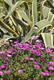 Marguerite africaine et agave photo stock