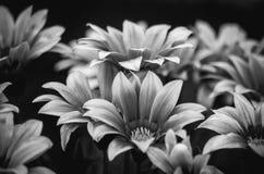 Marguerite africaine noire et blanche images stock