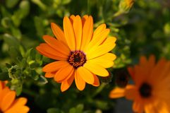 Marguerite africaine orange Photo stock