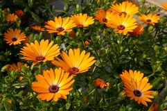 Marguerite africaine orange Image stock
