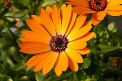 Marguerite africaine orange Photos stock