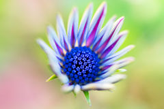 Marguerite africaine Osteospermum Photos stock
