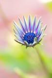 Marguerite africaine Osteospermum Image stock