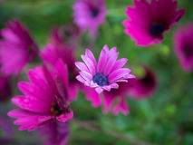 Marguerite africaine pourpre, Osteospermum Ecklonis Photo stock