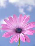 Marguerite africaine rose image stock
