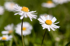 Marguerite anglaise Photographie stock