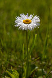 Marguerite anglaise (perennis de Bellis) Photos stock