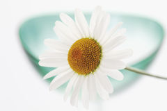 Marguerite (Argyranthemum) Stock Photos