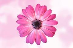Marguerite avec le fond rose diffus Photos stock