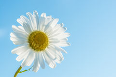 Marguerite backlit Royalty Free Stock Image