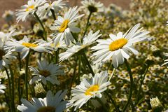 Marguerite blanche Photos stock