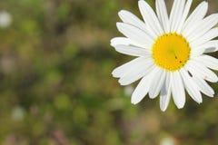 Marguerite blanche Image stock