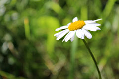 Marguerite blanche Photographie stock