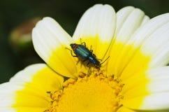 Marguerite blanche avec l'insecte Image stock
