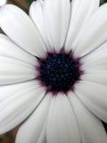 Marguerite blanche avec le fleuron pourpre II Image stock