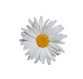 Marguerite blanche d'isolement Photographie stock