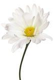 Marguerite blanche et jaune d'isolement images stock
