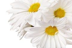 Marguerite blanche et jaune d'isolement images libres de droits