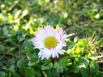 Marguerite blanche et rose dans un jardin, rentré un jardin dans Szczecin, Pologne image stock