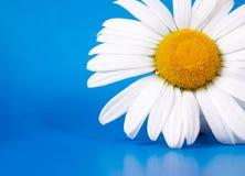Marguerite blanche sur le bleu image stock