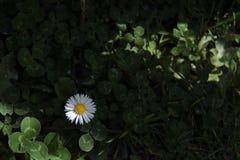 Marguerite blanche sur le fond foncé photographie stock