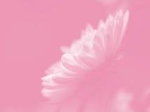 Marguerite blanche sur le rose Image stock